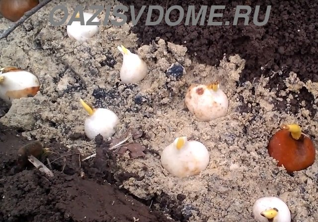 Посадка луковиц тюльпанов в грунт