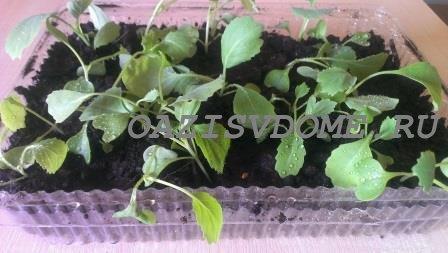 Надо ли замачивать семена капусты перед посадкой