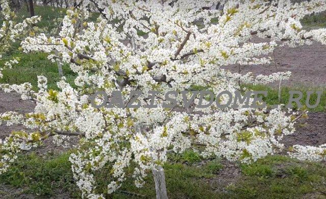 Весенние подкормки алычи и сливы весной