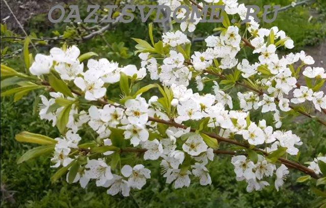 Цветение алычи весной