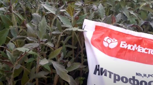 Подкормка для рассады помидор с фиолетовыми листьями