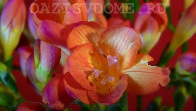 Цветок Капского ландыша