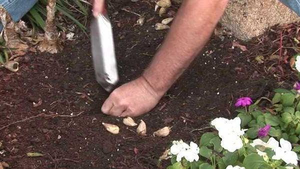 Посадка луковиц фрезии в открытый грунт
