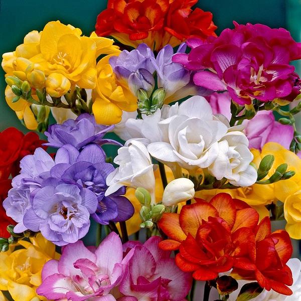 Цветение фрезий в саду
