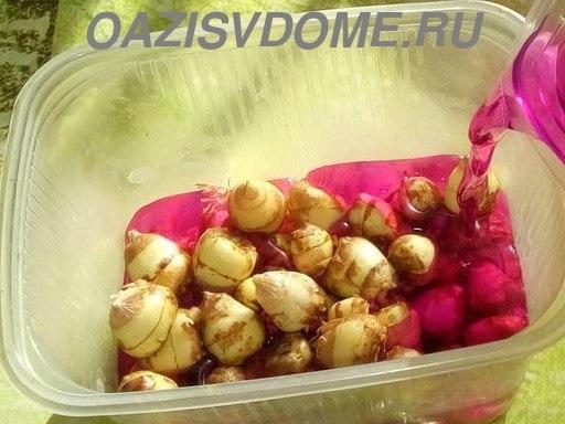 Подготовка луковиц фрезии к посадке