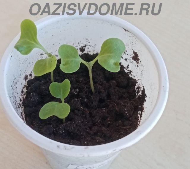 Рассада ранней капусты в горшочках