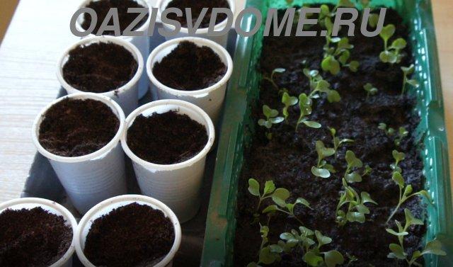 Подготовка к пикировке ранней капусты