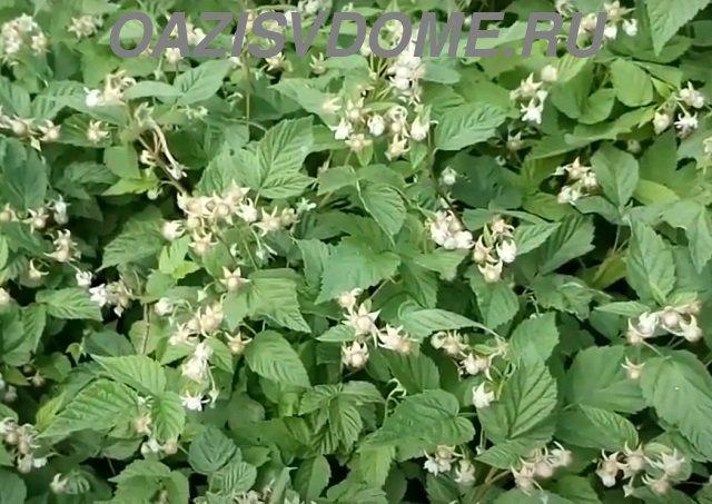 Лучшие подкормки для малины во время цветения и начале плодоношения