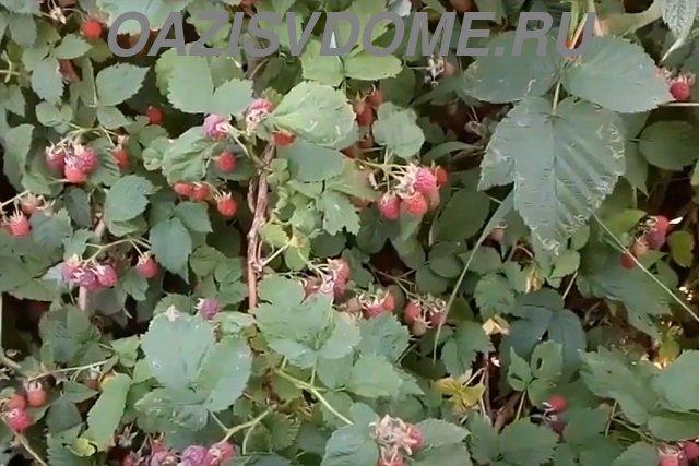 Малина во время плодоношения