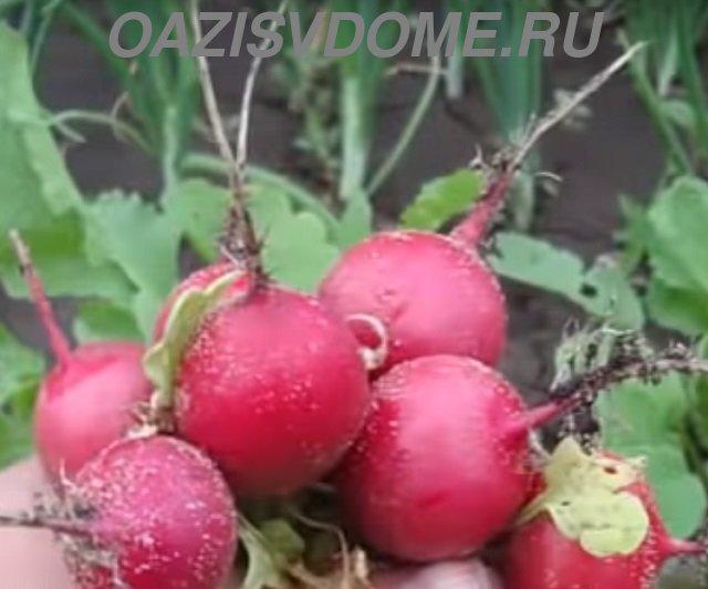 Урожай редиски, выращенной в яичных лотках