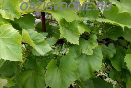 Полив винограда весной и летом