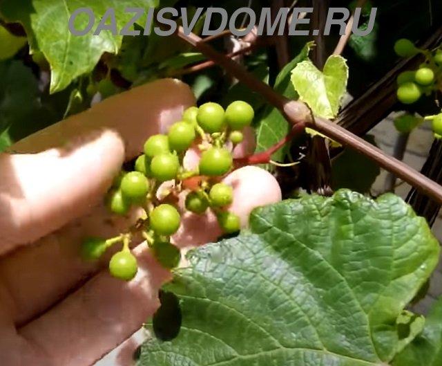 Виноград после цветения