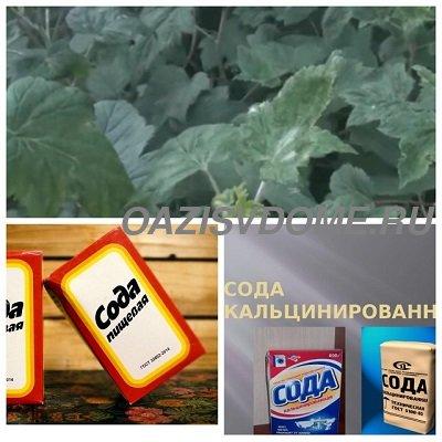 Как обработать содой от мучнистой росы смородину, крыжовник, розы, огурцы и другие растения