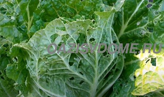 Как спасти капусту от слизней и гусениц