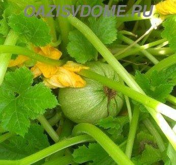 Начало плодоношения тыквы