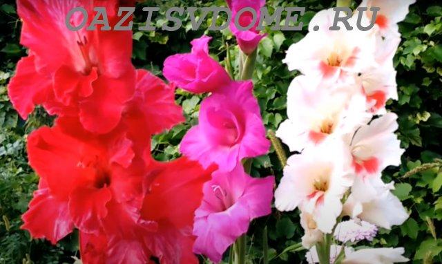 Пышное цветение гладиолусов в саду
