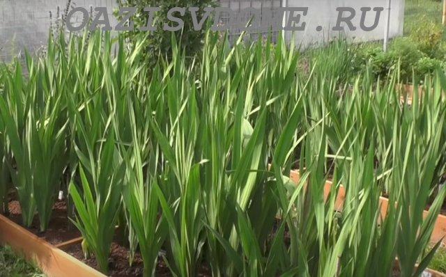 Гладиолусы перед цветением