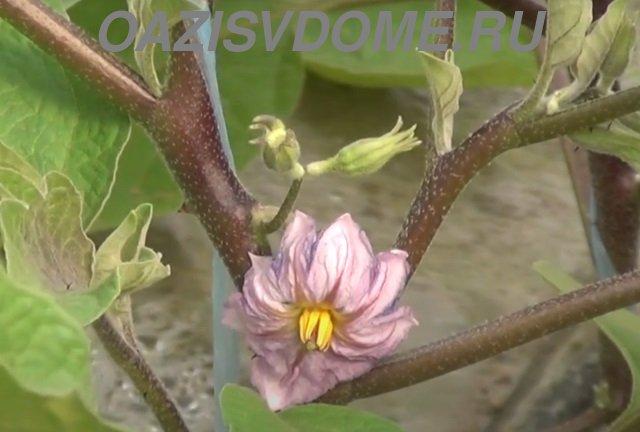 Цветение баклажан