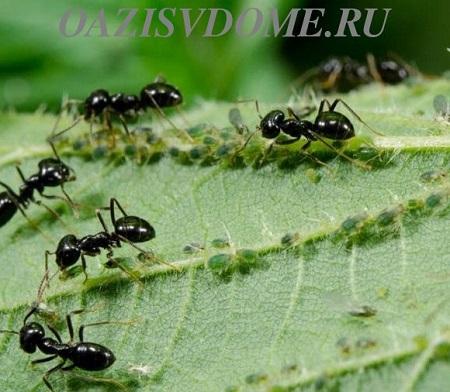 Борная кислота, горчица и кипяток от муравьев в огороде