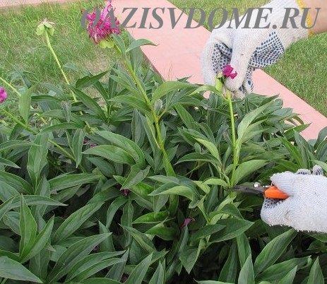 Обрезка пионов летом после цветения