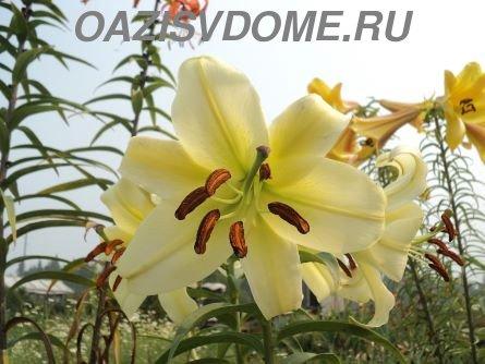 Пересадка лилий после цветения летом и осенью на другое место пошагово