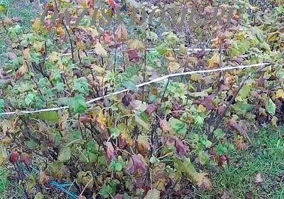 Осенняя подкормка смородины: когда и чем удобрить кусты после сбора урожая
