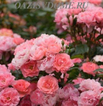 Посадка саженцев роз осенью в открытый грунт: пошаговая инструкция с видео