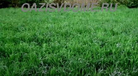 Рожь как сидерат на огороде