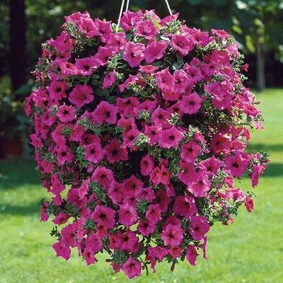 Petuniya Taydal hot pink