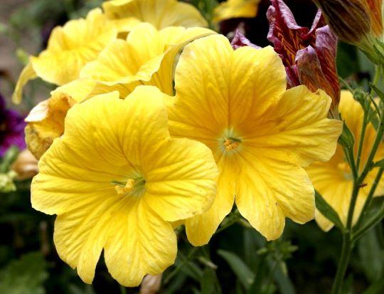 Сальпиглоссис с желтыми цветами