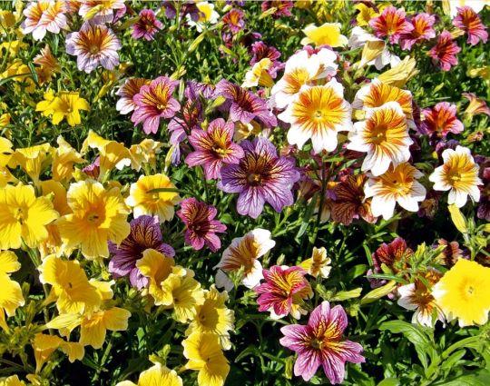 Фото сальпиглоссиса в саду