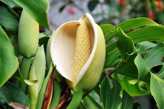 Цветок растения монстера