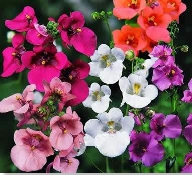 Цветы диасции