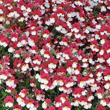 Разноцветные цветы диасции