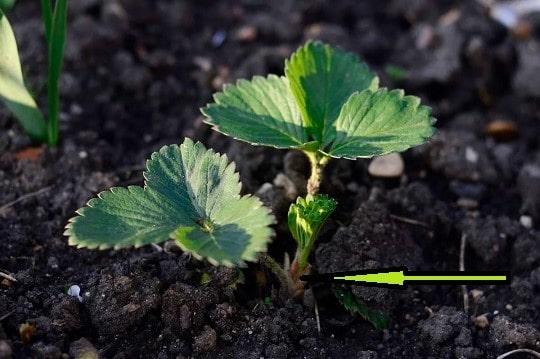 Правильная посадка рассады садовой земляники