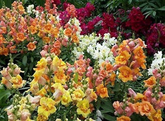 Садовый цветок Львиный зев