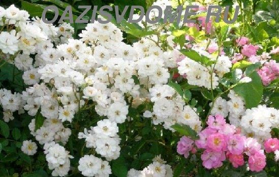 Кусты роз Крылья ангелов