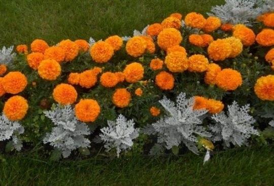 Цветник с бархатцами и цинерарией