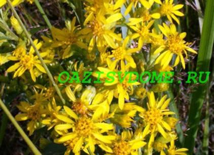 Лечебные свойства польза и вред золотарника обыкновенного