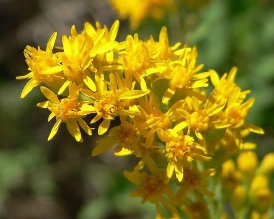 Цветение обыкновенного золотарника