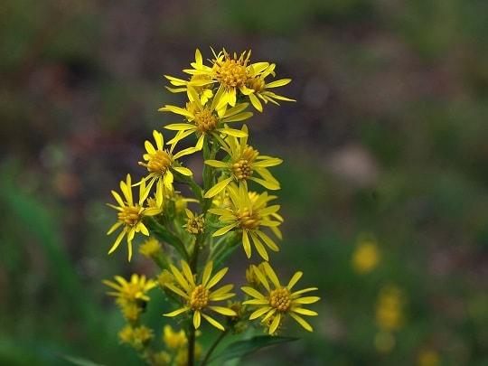Фото соцветий обыкновенного золотарника
