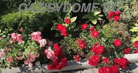 Укрытие на зиму почвопокровных роз: когда и чем укрывать
