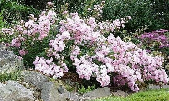 Куст почвопокровных роз
