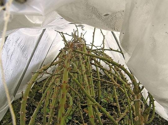 Укрытие розовых кустов спанбондом