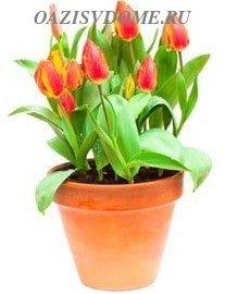 Как ухаживать дома за тюльпанами в горшке во время и после цветения