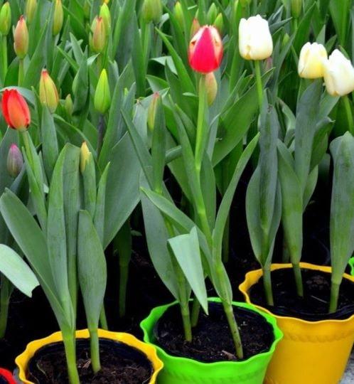 Цветущие в домашних условиях тюльпаны в горшках