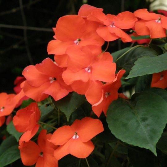 Цветущий Ванька мокрый (бальзамин)