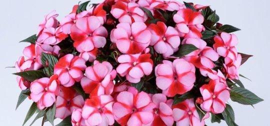 Бальзамин с двуцветными цветами
