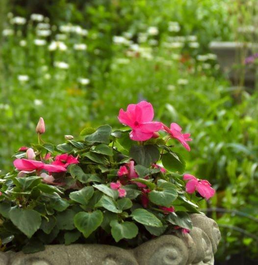 Начало цветения бальзамина