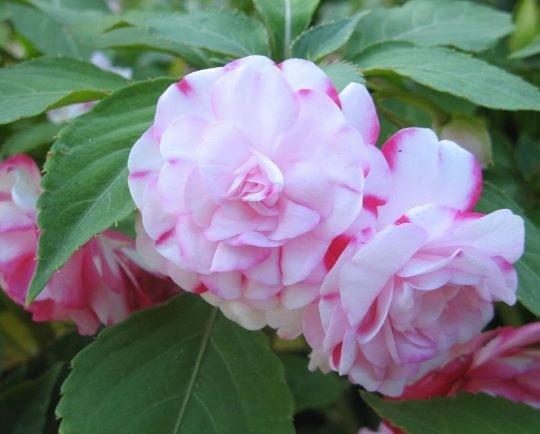 Махровые цветы бальзамина